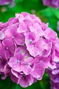 濡れたピンクの紫陽花